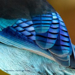 Stellar Feather by Neal Maine @ Fairweather's